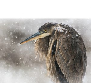 Art Gallery featured painting of bird in snow